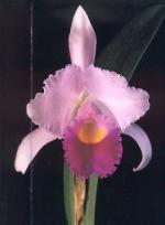 Cattleya Trianae, die Blume Kolmbiens